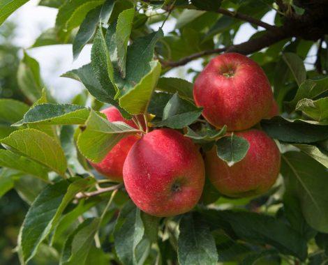Algemeen-Appelboom-VruchtRedElstar-1
