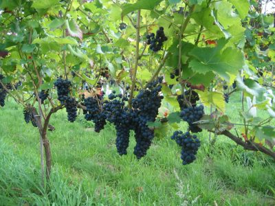 wijngaard 19 aug. 2011 027