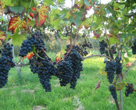wijngaard 19 aug. 2011 032